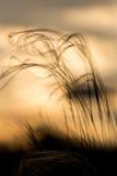 关闭美妙的日落光的stipa植物 免版税库存照片