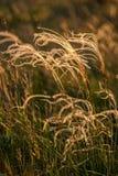 关闭美妙的日落光的stipa植物 库存照片