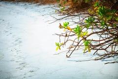 关闭美洲红树在有白色沙滩和海和曲线棕榈的马尔代夫海岛Fulhadhoo靠岸 免版税库存图片
