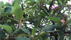 关闭羽毛赤素馨花树在巴厘语庭院里 巴厘岛,印度尼西亚热带海岛  影视素材