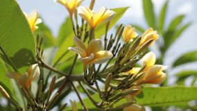 关闭羽毛赤素馨花树在巴厘语庭院里 巴厘岛,印度尼西亚热带海岛  股票录像