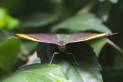 关闭翅上有细纹的蝶蝴蝶 库存照片