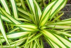 关闭背景的绿色叶子木套鞋 新鲜的绿色叶子 在空白背景的孤立 库存图片