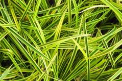 关闭背景的绿色叶子木套鞋 新鲜的绿色叶子 在空白背景的孤立 免版税库存图片