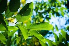 关闭自然绿色叶子森林在阳光下有蓝天背景 库存图片
