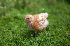 关闭自由放养的棕色鸡照片在草的 免版税库存图片