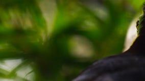 关闭船骨开帐单的Toucan,Ramphastos sulfuratus,在自然的鸟 福斯-杜伊瓜苏,巴西 免版税图库摄影