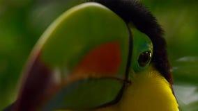 关闭船骨开帐单的Toucan,Ramphastos sulfuratus,在自然的鸟 福斯-杜伊瓜苏,巴西 图库摄影