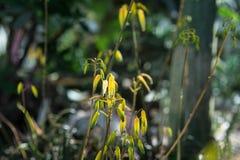 关闭芦荟bakeri多汁植物在庭院里 库存图片