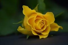 关闭花一朵浪漫黄色玫瑰的摄影图象有黑暗的背景和理想为情人节 免版税图库摄影
