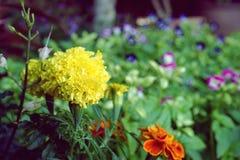 关闭花在庭院里开花的美丽的黄色万寿菊 图库摄影