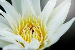 关闭花粉浪端的白色泡沫百合或白莲教 免版税库存图片
