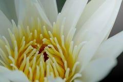 关闭花粉浪端的白色泡沫百合或白莲教 免版税库存照片