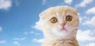 关闭苏格兰人在蓝天的折叠小猫 免版税库存照片