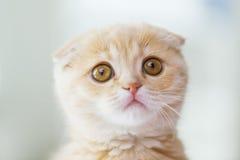 关闭苏格兰人折叠小猫 免版税库存图片
