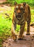 关闭苏门答腊老虎在ragunan动物园雅加达 免版税图库摄影