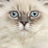 关闭英国长发小猫 库存图片