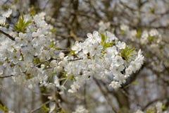 关闭苹果开花白花和蓝天春天背景 库存图片