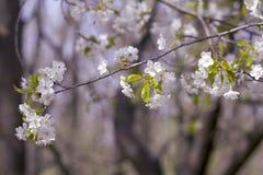 关闭苹果开花白花和蓝天春天背景 免版税库存图片