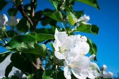 关闭苹果开花白花和蓝天春天backgro 库存图片