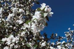 关闭苹果开花白花和蓝天春天backgro 库存照片