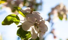 关闭苹果树花 免版税库存照片