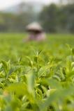 关闭茶芽 免版税库存照片
