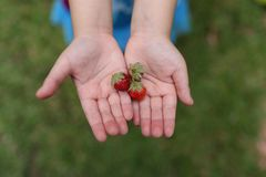 关闭草莓的图象在女孩手上的 库存图片
