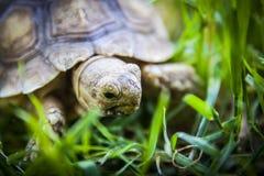 关闭草龟 库存图片