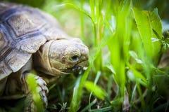 关闭草龟 免版税库存图片