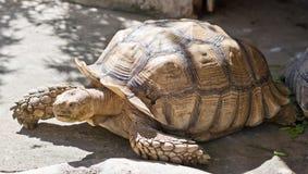 关闭草龟 免版税库存照片