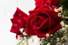 关闭荷兰玫瑰 免版税图库摄影
