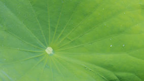 关闭莲花绿色叶子 库存照片