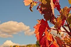关闭葡萄园叶子在秋天 免版税库存图片