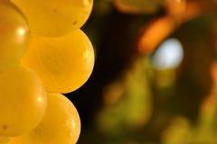 关闭葡萄在葡萄园里准备好收获 免版税库存图片