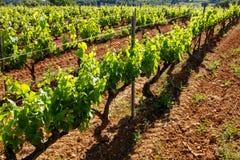关闭葡萄栽培的有机葡萄园 免版税库存图片