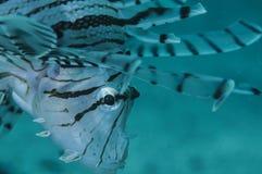 关闭蓑鱼` s面孔水中射击  免版税库存照片