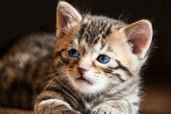 关闭蓝眼睛的孟加拉小猫在阳光下 免版税库存图片