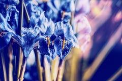 关闭蓝色番红花在被弄脏的自然背景,正面图,花卉边界 下雨 免版税库存照片