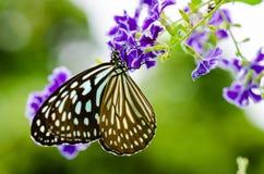 关闭蓝色老虎蝴蝶或Tirumala hamata 免版税库存图片