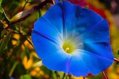 关闭蓝色花在庭院里 库存照片