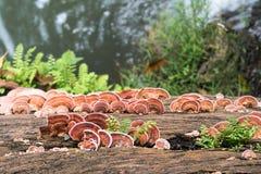 关闭蘑菇射击在木头的 免版税库存照片