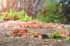 关闭蘑菇射击在木材木头的 免版税库存照片