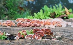 关闭蘑菇射击在木材木头的 库存照片