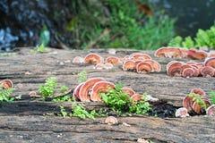 关闭蘑菇射击在木材木头的 免版税图库摄影