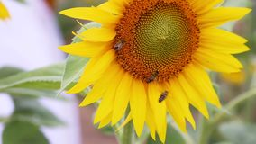 关闭蜂蜜蜂,授粉在领域的黄色向日葵 与蜂的黄色向日葵 影视素材