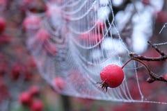 关闭蜘蛛与垂悬从红色山楂子树的露滴的` s网照片在秋天 免版税库存图片