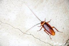 关闭蟑螂 免版税库存图片