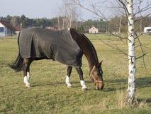 关闭被删去的哺养包括的棕色骑乘马在co 免版税库存照片