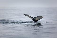 关闭被打击的驼背鲸尾巴desc看法  免版税库存图片